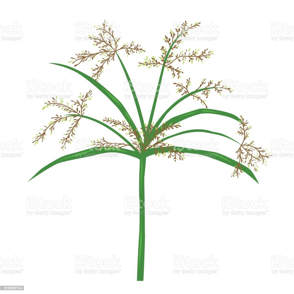 papyrus or nile grass illustration isolated tropical plant. Black Bedroom Furniture Sets. Home Design Ideas