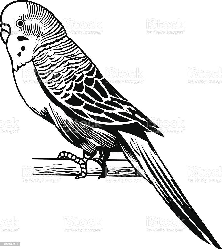Parakeet domestic bird stock vector art more images of bird istock - Dessin perruche ...