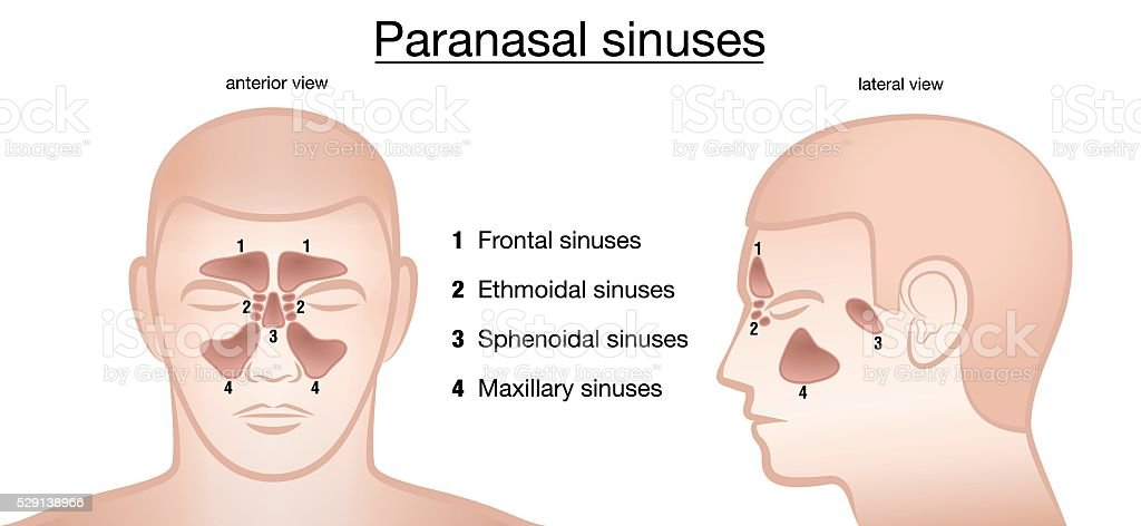 Paranasal Sinuses Anterior Lateral Stock Vector Art More Images Of