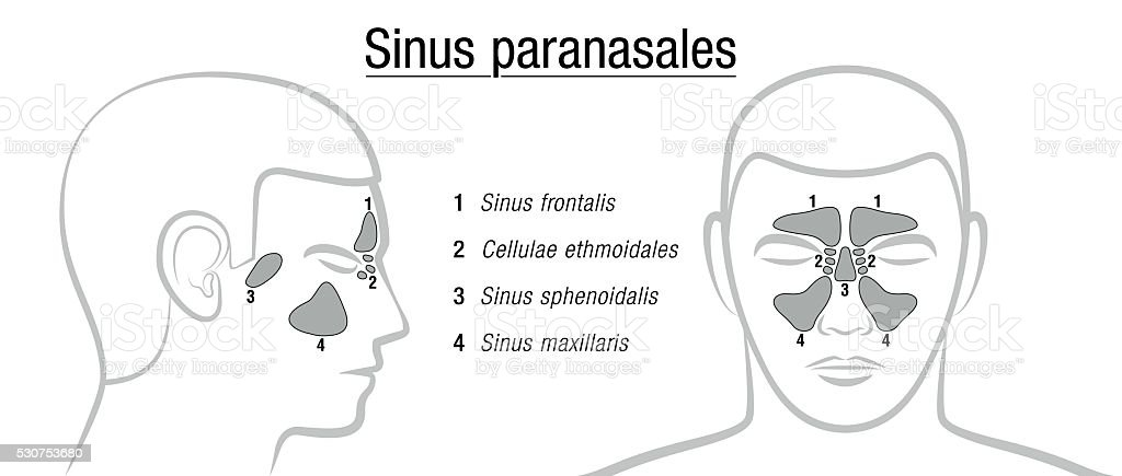 Paranasal Sinuses Latin Terms Stock Vector Art More Images Of