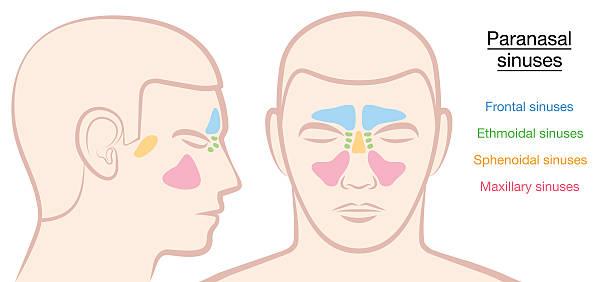 stockillustraties, clipart, cartoons en iconen met paranasal sinuses male face - bijholte