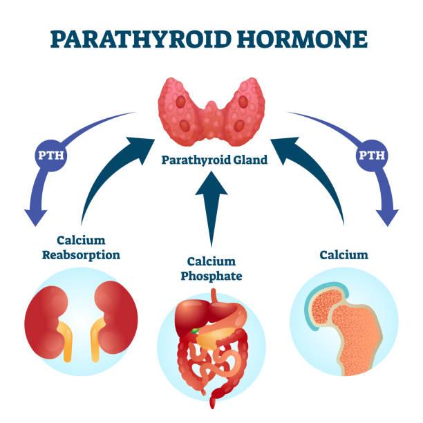 Parathyroid hormone PTH, parathormone or parathyrin vector illustration. vector art illustration