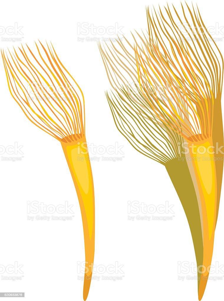 Parazoanthus vector art illustration
