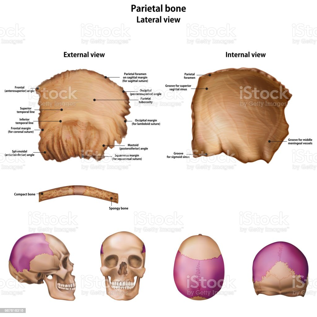 Parietal Bone With The Name And Description Of All Sites Stock ...