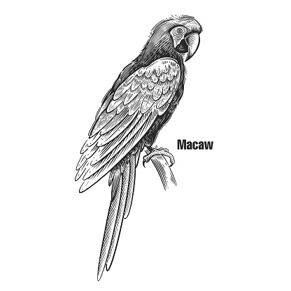 Parrot macaw. Black sketch of bird on a white background.