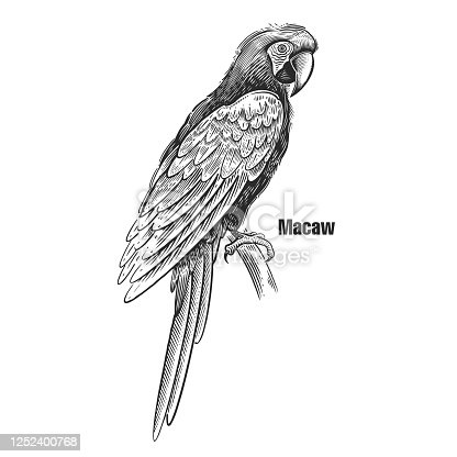 Macaw. Tropical exotic bird. Black sketch of animal on a white background. Vintage engraving. Vector illustration of parrot. Isolated image. Wild life. Natural motive.