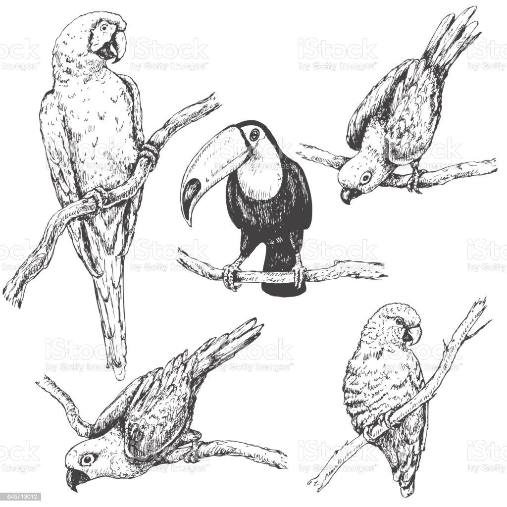 Parrots and Toucan Sketch royalty-free parrots and toucan sketch stock illustration - download image now
