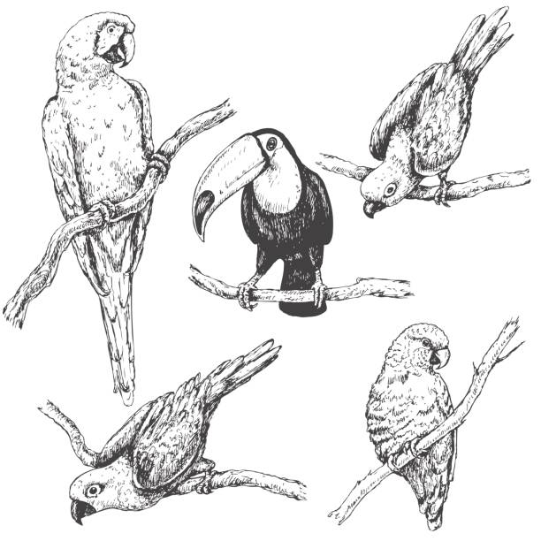 Parrots and Toucan Sketch Hand drawn set of tropical  birds. Parrots and toucan sitting on branches sketch. amazon stock illustrations
