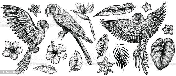 Parrots with tropical flowers and leaves hand drawn line vector vector id1152260829?b=1&k=6&m=1152260829&s=612x612&h=racz5bk7bxt 0eb6y3mw3suzdwaxsvrbxifg6pyktqc=