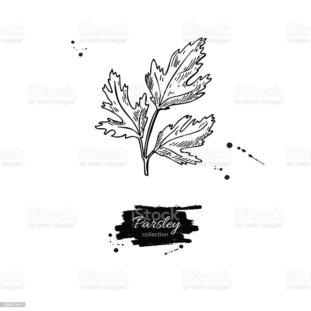 Parsley vector hand drawn illustration. Isolated spice object. vector art illustration