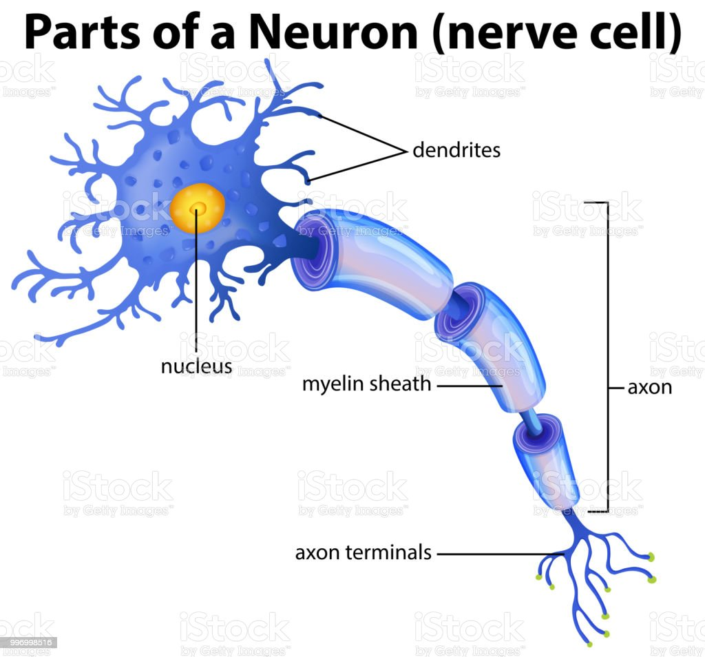 Part Of A Neuron Diagram Stock Vector Art & More Images of Anatomy ...