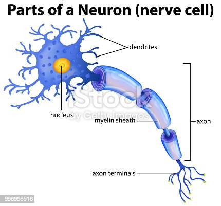 Part Of A Neuron Diagram Stock Vector Art More Images Of Anatomy