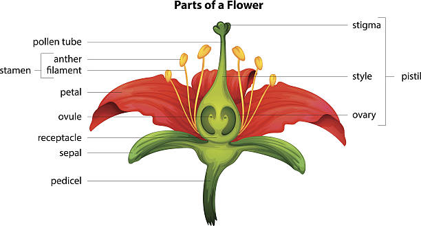 Parts of a flower Illustration showing the parts of a flower flower part stock illustrations