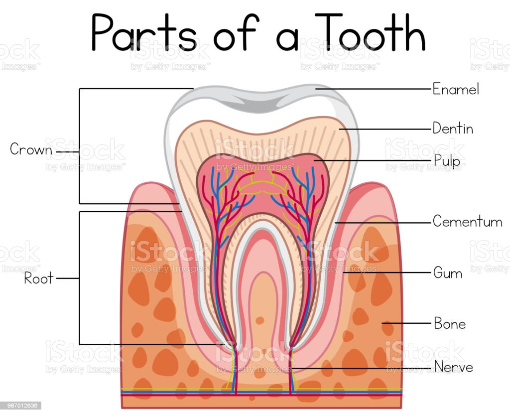 Parts Of A Human Tooth Stock Vector Art More Images Of Anatomy