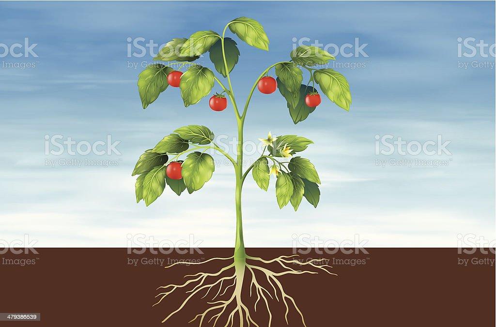 Teile Einer Pflanze Stock Vektor Art und mehr Bilder von Anatomie ...