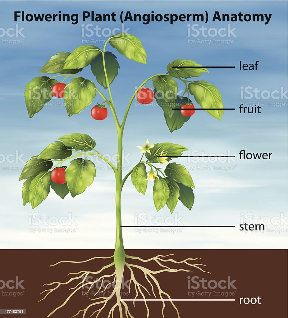 Labelled diagram of a tomato plant diy enthusiasts wiring diagrams labelled diagram of a tomato plant automotive block diagram u2022 rh carwiringdiagram today flower plant diagram labeled plant long day ccuart Gallery