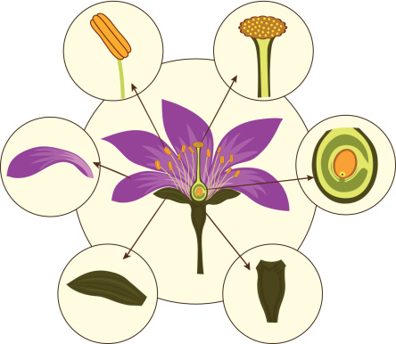 Parts Of A Typical Flower Morphology Of A Flower Stock ...