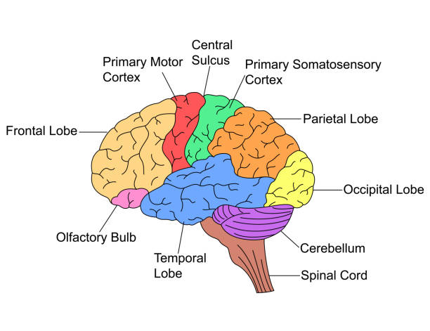 Best Cerebral Cortex Illustrations, Royalty-Free Vector