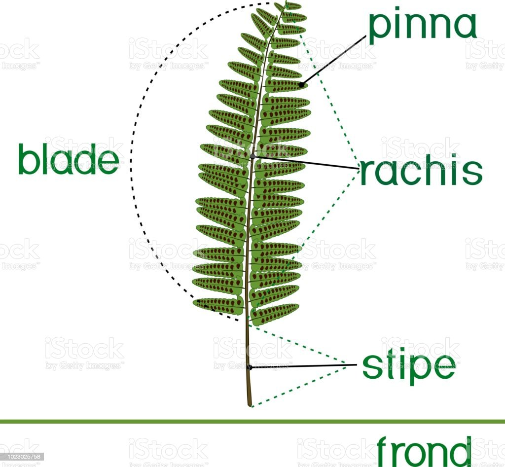 Plant Fronds Diagram Wiring Will Be A Thing Harness Wire Clarion Rdx555d Parts Of Fern Frond With Titles Stock Vector Art More Images Rh Istockphoto Com Rhizome