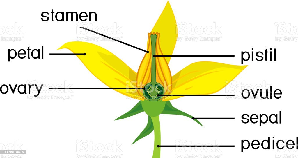Parts Of Flower Morphology Of Tomato Plant Flower With