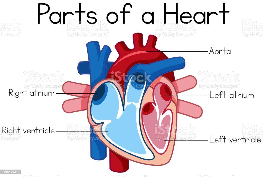 parts of heart diagram vector art illustration