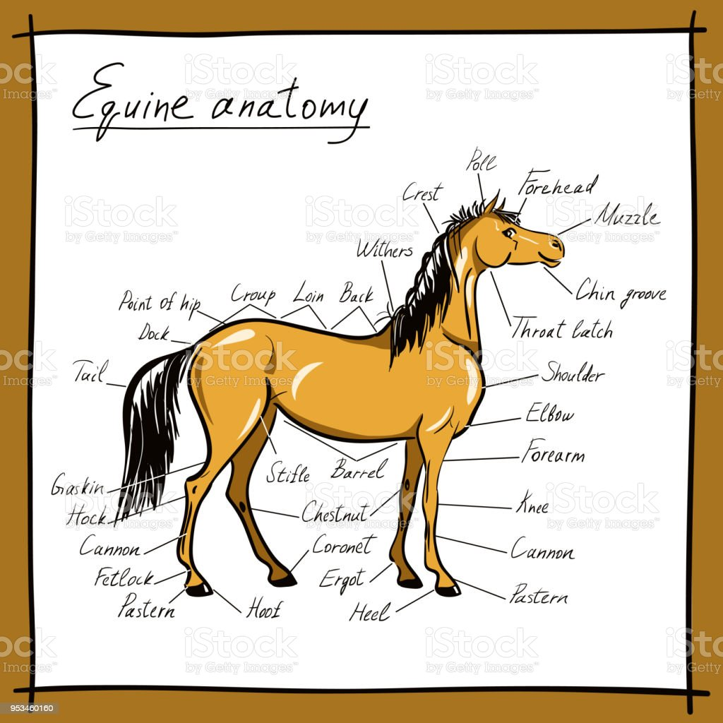 Parts Of Horse Equine Anatomy Equestrian Scheme With Text Hand