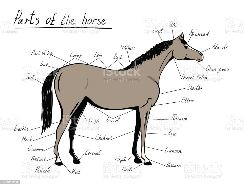 Parts Of Horse Equine Anatomy Equestrian Scheme With Text Stock ...
