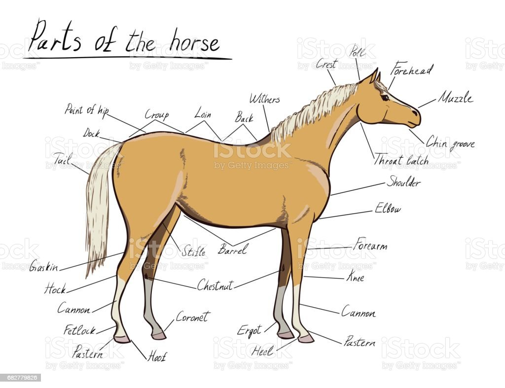 Parts of horse. Equine anatomy. Equestrian scheme with text.