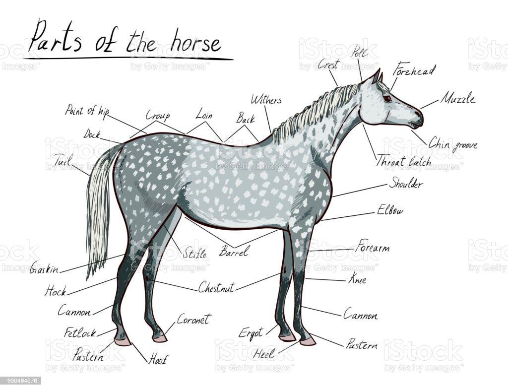 Fantastisch Die Anatomie Des Pferdes Ideen - Menschliche Anatomie ...