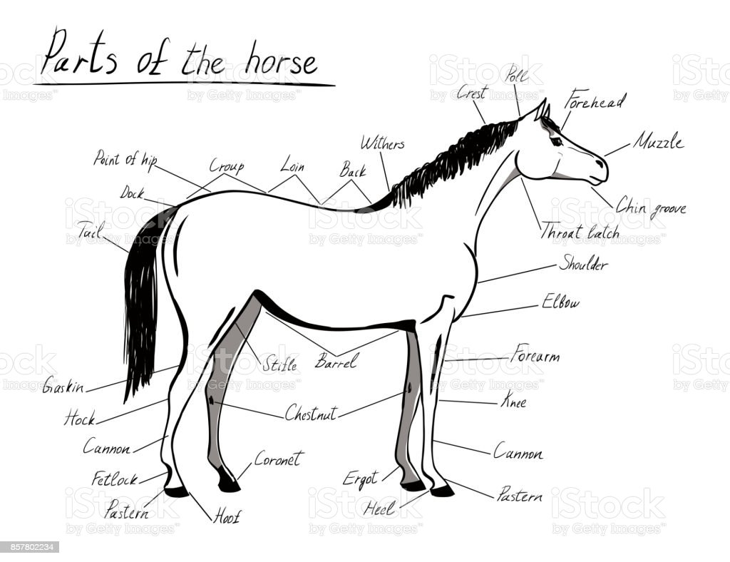 Parts Of Horse Equine Anatomy White And Black Equestrian Scheme With