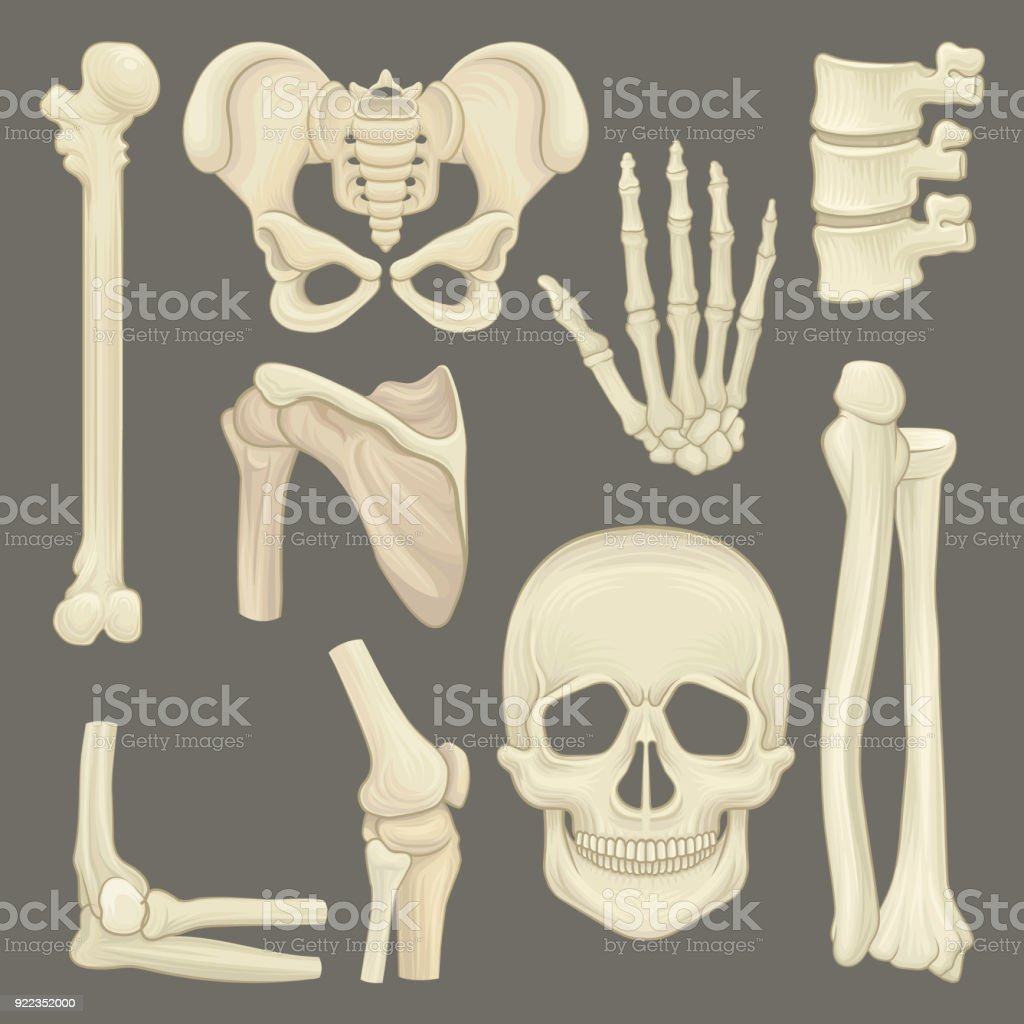 Parts Of Human Skeleton Skull Pelvic Girdle Hand Humerus Lumbar