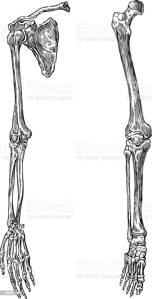 Parts Of Human Skeleton Stock Vector Art & More Images of Anatomy ...