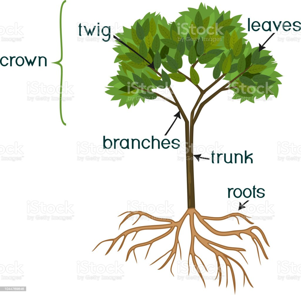 Parts Of Plant Morphology Of Abstract Tree With Green Crown Root