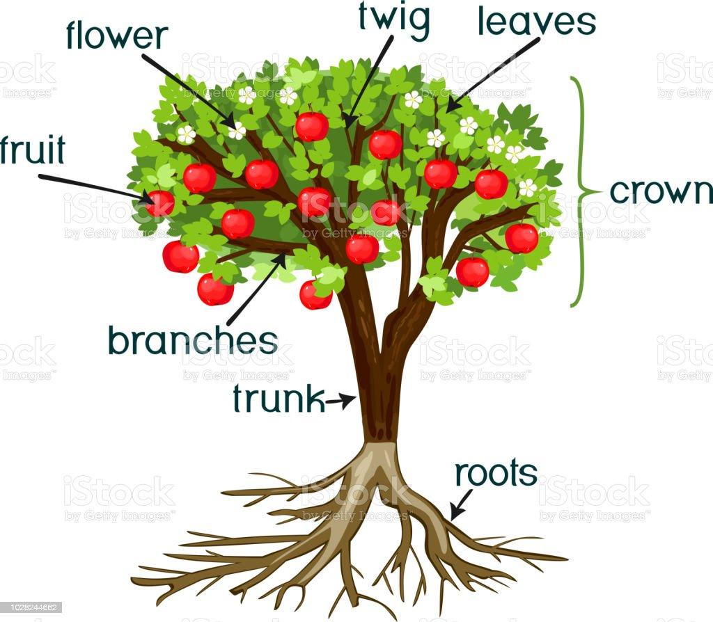 teile der pflanze morphologie der apfelbaum mit wurzeln bl ten fr chten und titel stock vektor. Black Bedroom Furniture Sets. Home Design Ideas