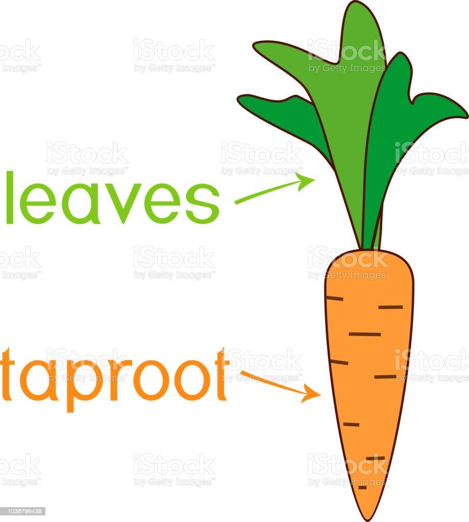 Ilustración De Partes De La Planta Morfología De La Planta