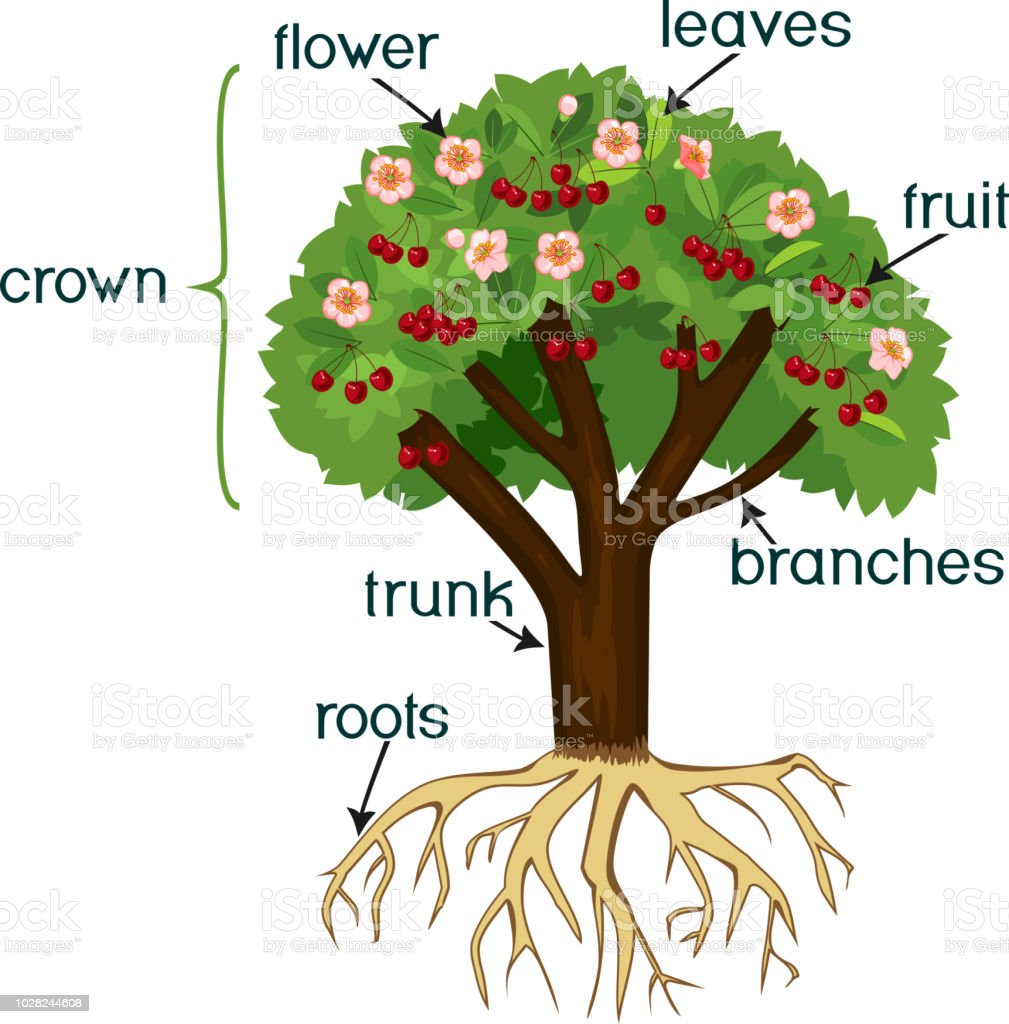 parts of plant morphology of cherry tree with root system flowers fruits and titles stock