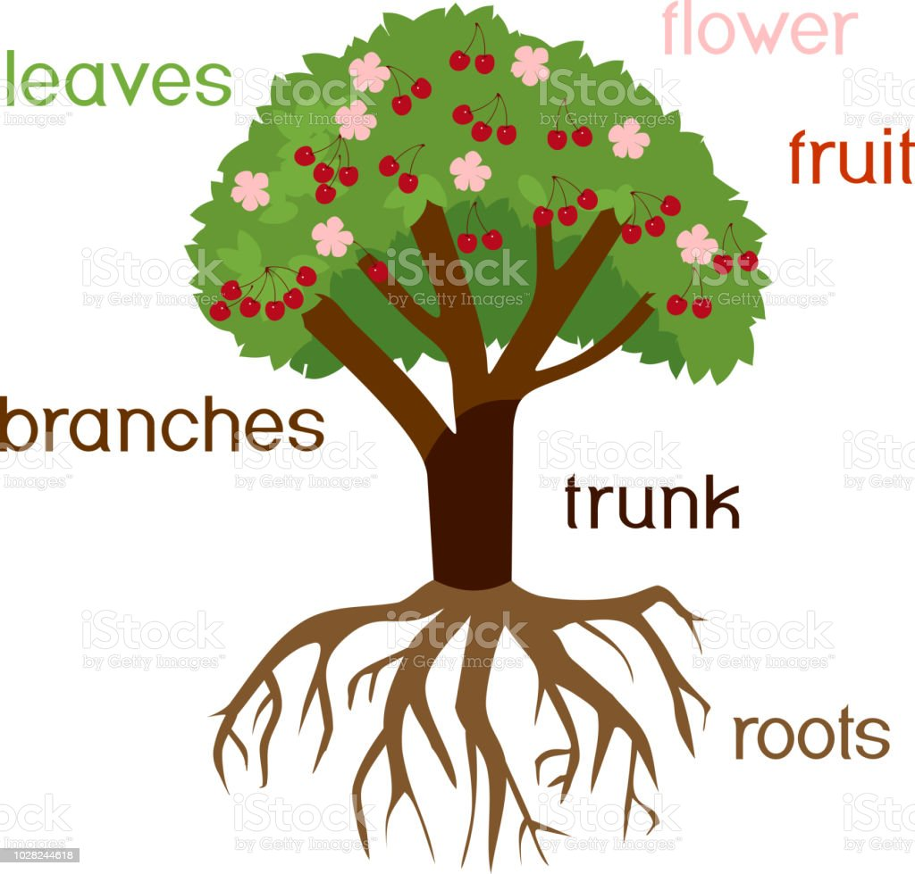 parts of plant morphology of cherry tree with root system flowers fruits and titles stock vector