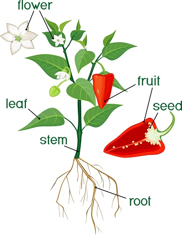 Parts of plant. Morphology of flowering bell pepper plant with title