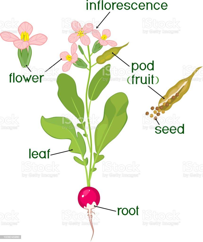 Teile Der Pflanze Morphologie Der Rettich Blütenpflanze Mit Samen ...