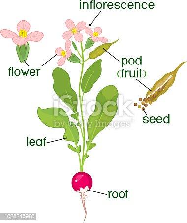 parts of plant morphology of flowering radish plant with. Black Bedroom Furniture Sets. Home Design Ideas