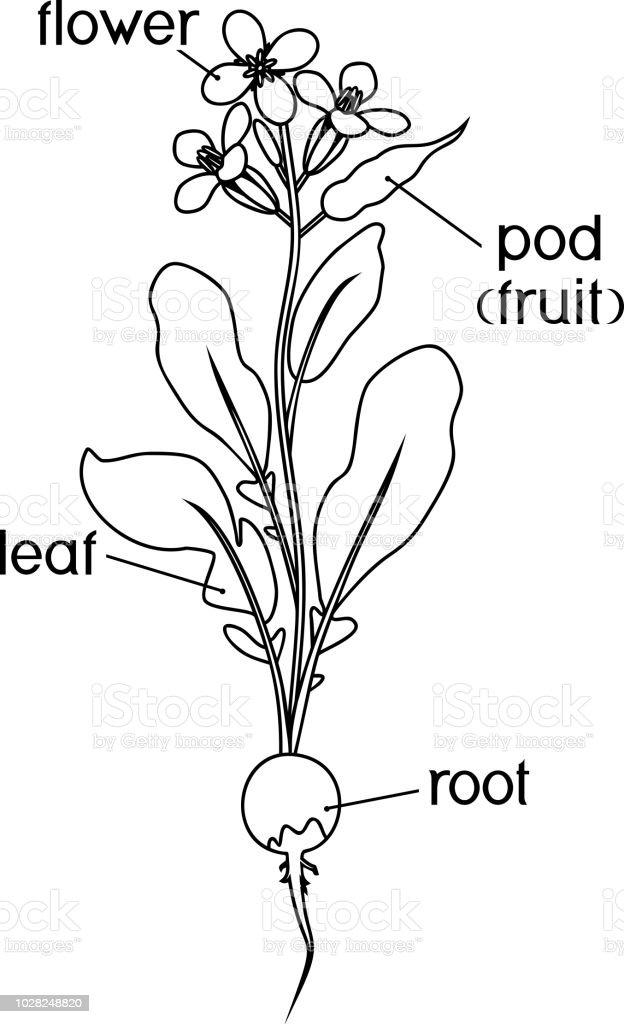 Teile Der Pflanze Morphologie Der Rettich Blütenpflanze Mit Titel ...