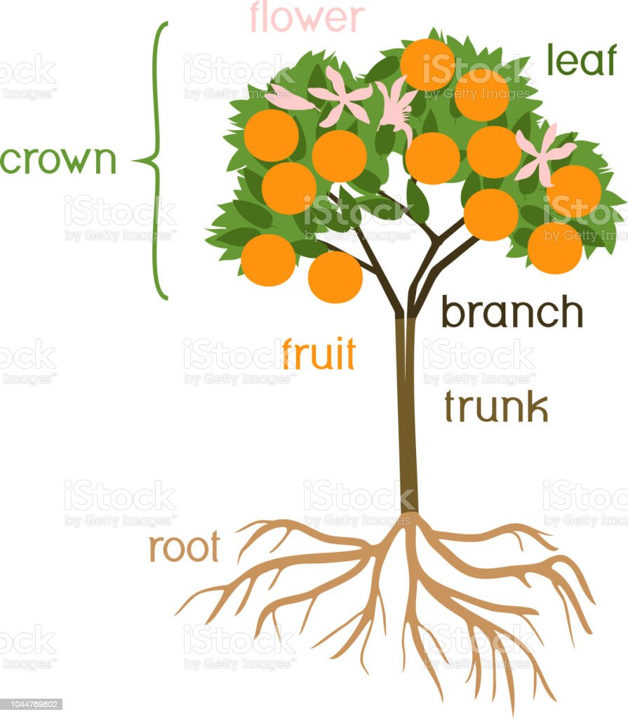 parts of plant morphology of orange tree with fruits flowers green leaves and