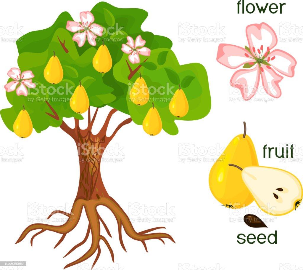 Ilustraci n de partes de la planta morfolog a del rbol de for Imagenes de las partes del arbol