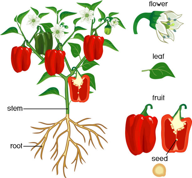 ilustrações de stock, clip art, desenhos animados e ícones de parts of plant. morphology of pepper plant with green leaves, red fruits, flowers and root system isolated on white background - red bell pepper isolated