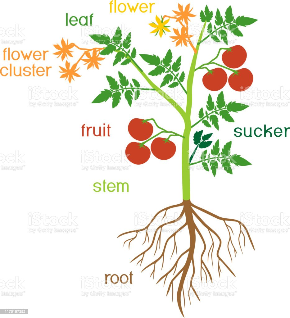 Parts Of Plant Morphology Of Tomato Plant With Green ...
