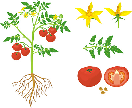 Parts of plant. Morphology of tomato plant with green leaves, red fruits, yellow flowers and root system isolated on white background