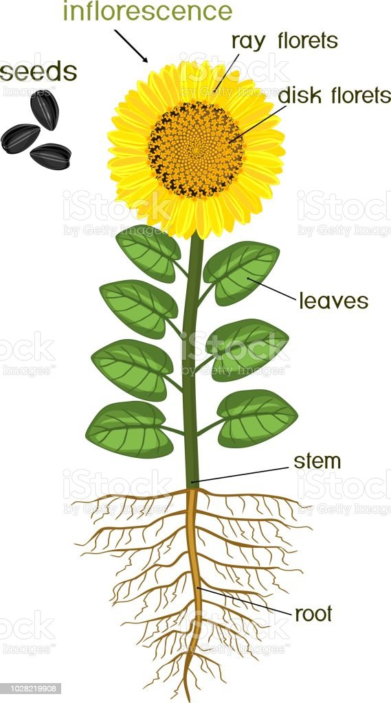 Parts Sunflower Plant Morphology Flowering Plant Root Manual Guide