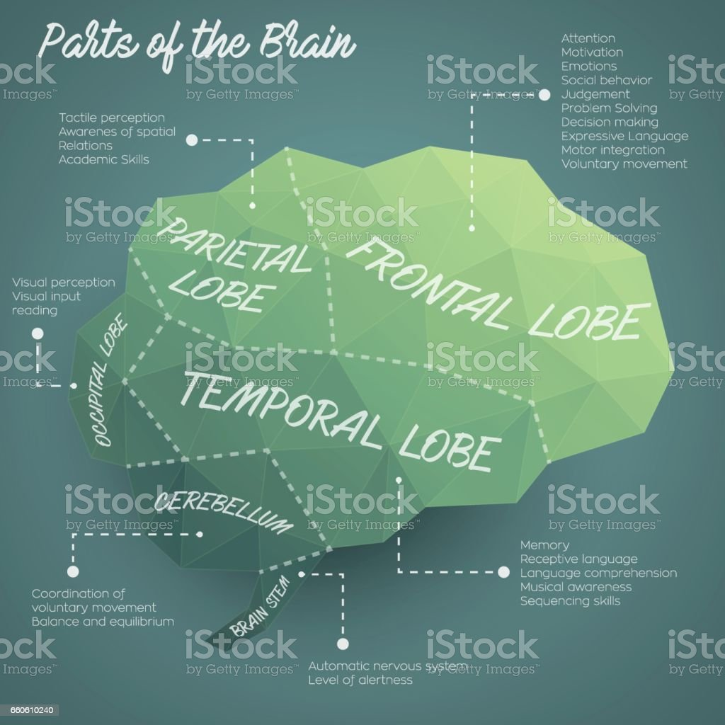 Parts of the brain infographic design royalty-free parts of the brain infographic design stock vector art & more images of alertness