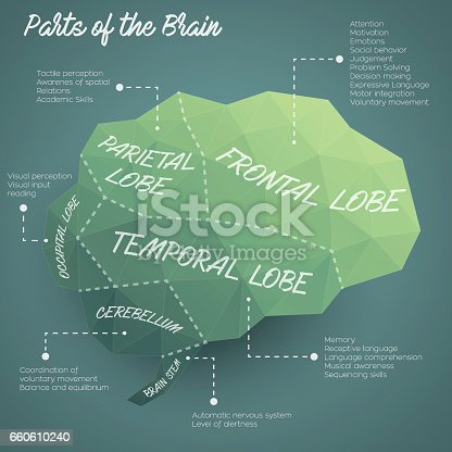 Vector illustration of the parts of the brain in a low poly and colorful style
