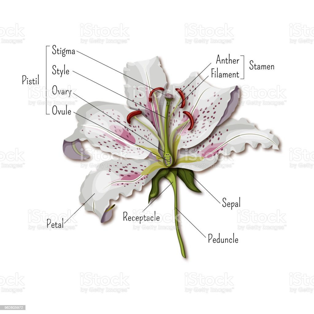 Parts Of The Flower Infographics Lily Flower Anatomy Science For ...
